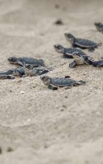 58 endangered baby turtles released to sea in Oaxaca